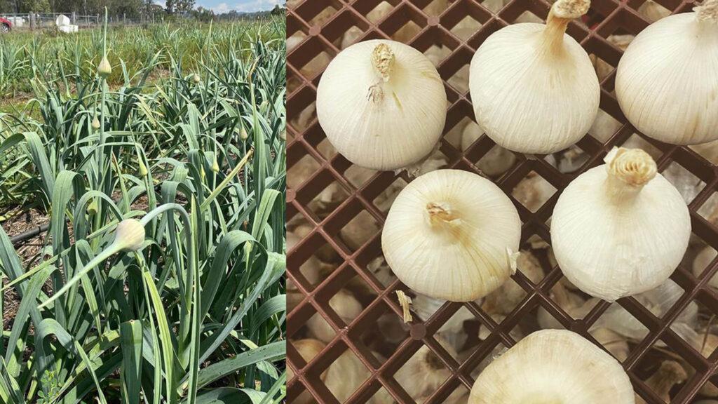Destination Scenic Rim Christmas Creek Garlic